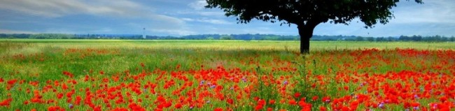 cropped-red-poppy-field